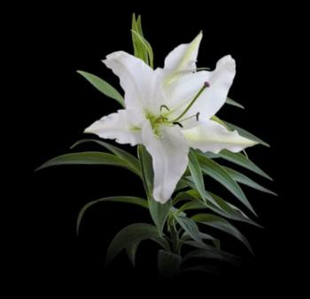 ユリの花の帯